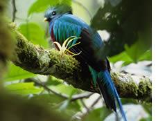 Un bellissimo uccello quetzal a Chiriqui, Panama